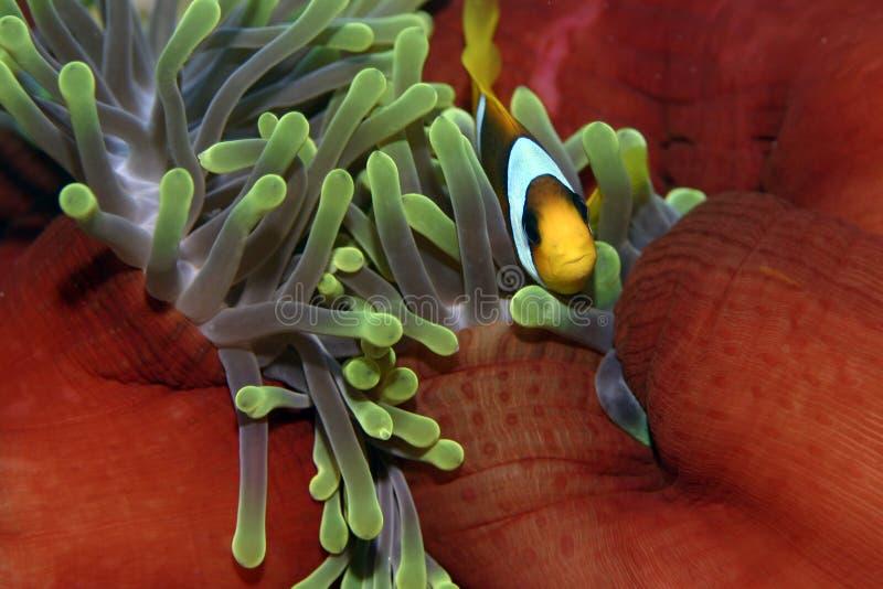 nemo рыб ветреницы стоковые изображения