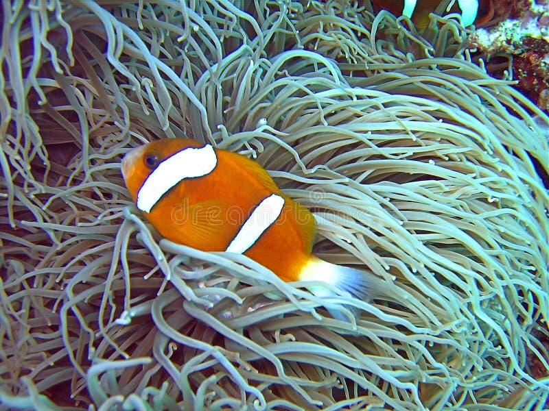Nemo foto de stock