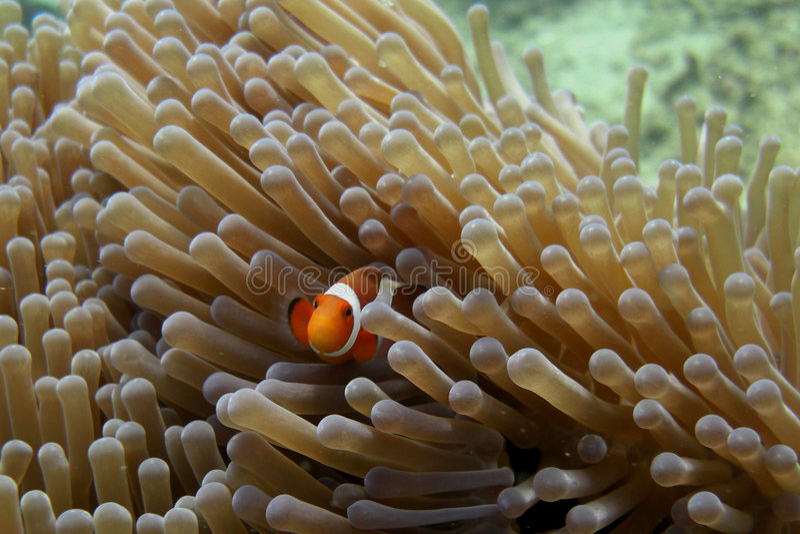 Nemo royalty free stock image