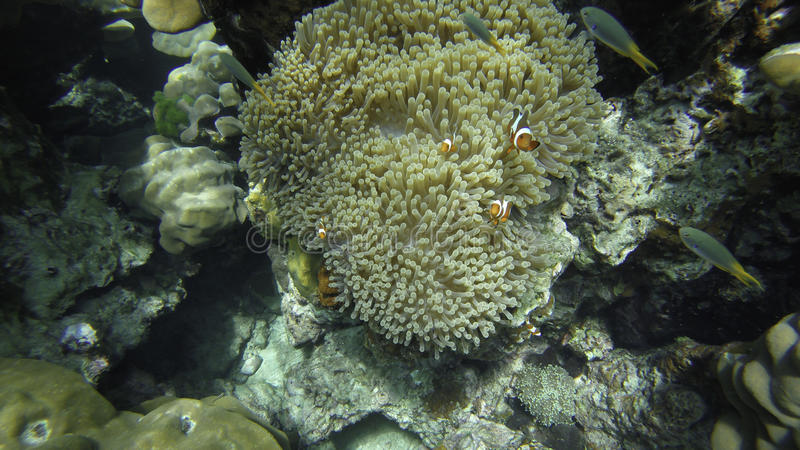 Nemo Anemonefish family royalty free stock images