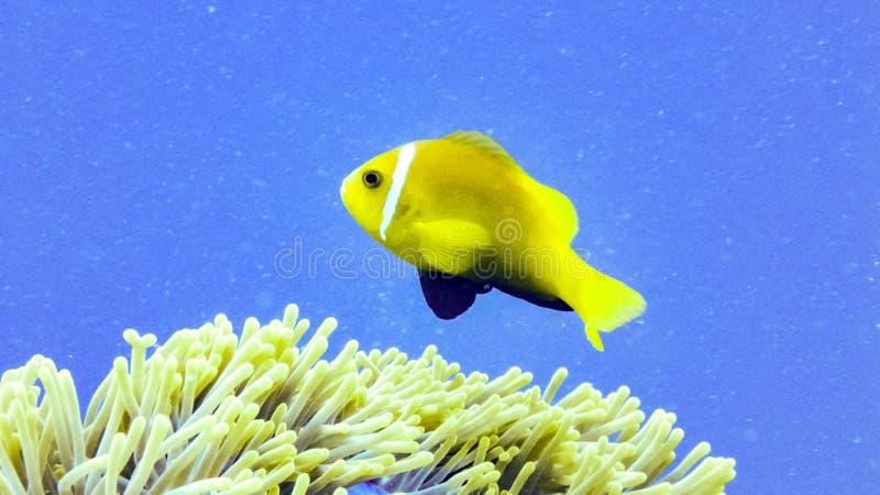 Nemo, anemonefish zamknięty up, Maldives obraz royalty free