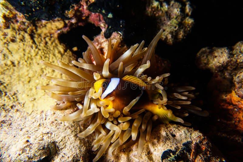 Nemo in Anemoon stock foto's