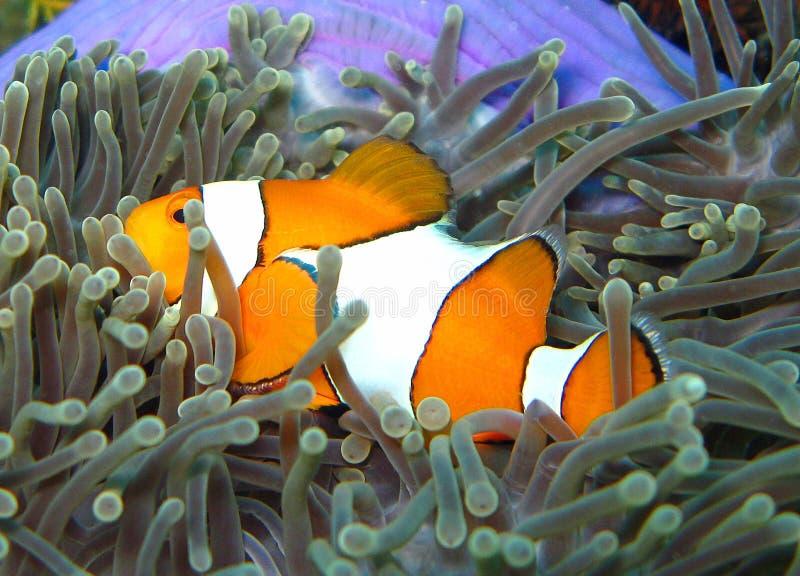 Nemo błazen ryba zdjęcia royalty free