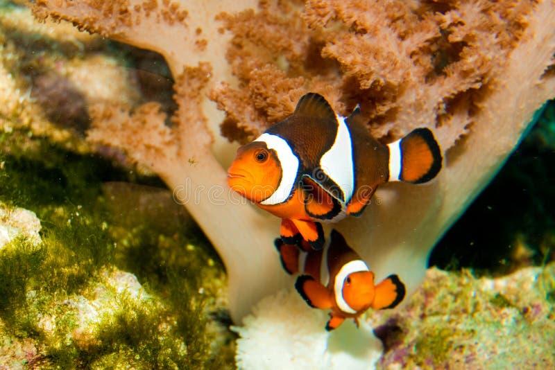Nemo Clown Fish stock images