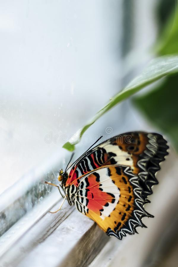 Nemo, Clown Fish colored Butterfly looking out the Window royalty free stock photo
