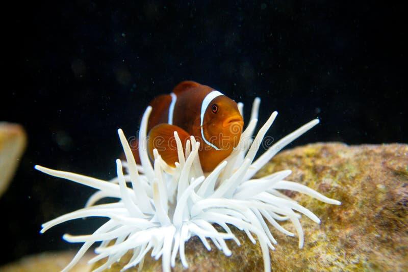 Nemo Clownfish fotografía de archivo libre de regalías
