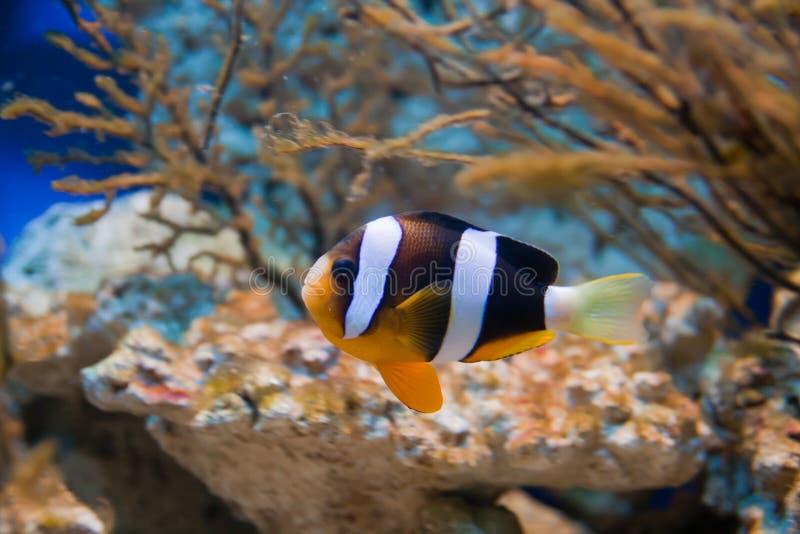 Nemo (clownfish, anemonefish, Amphiprioninae) photos stock