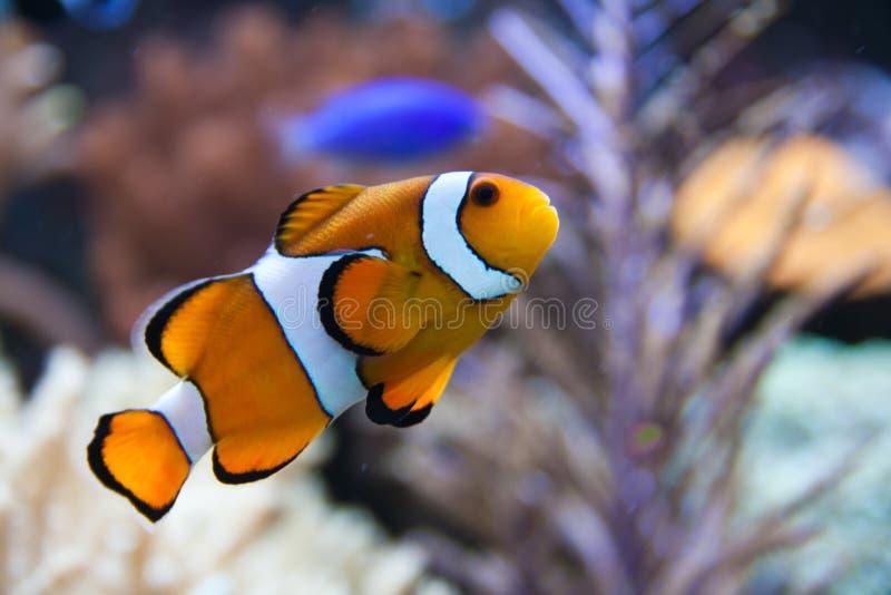 Nemo (clownfish, anemonefish, Amphiprioninae) photographie stock libre de droits