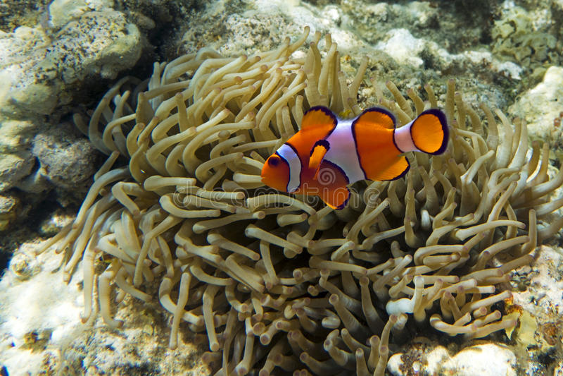 Nemo (clownfish, anemonefish, Amphiprioninae) lizenzfreies stockfoto