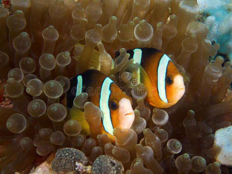 Nemo couple royalty free stock photos