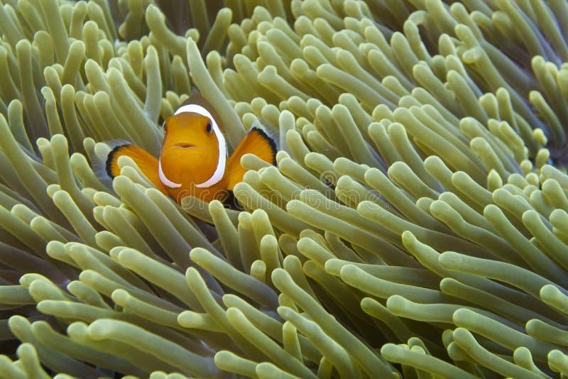 Nemo de vriendschappelijke clownvissen van Aalmoezenier Burgos, Leyte, Filippijnen stock afbeelding
