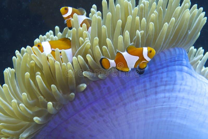 Nemo den vänliga clownfisken av fältprästen Burgos, Leyte, Filippinerna arkivfoton