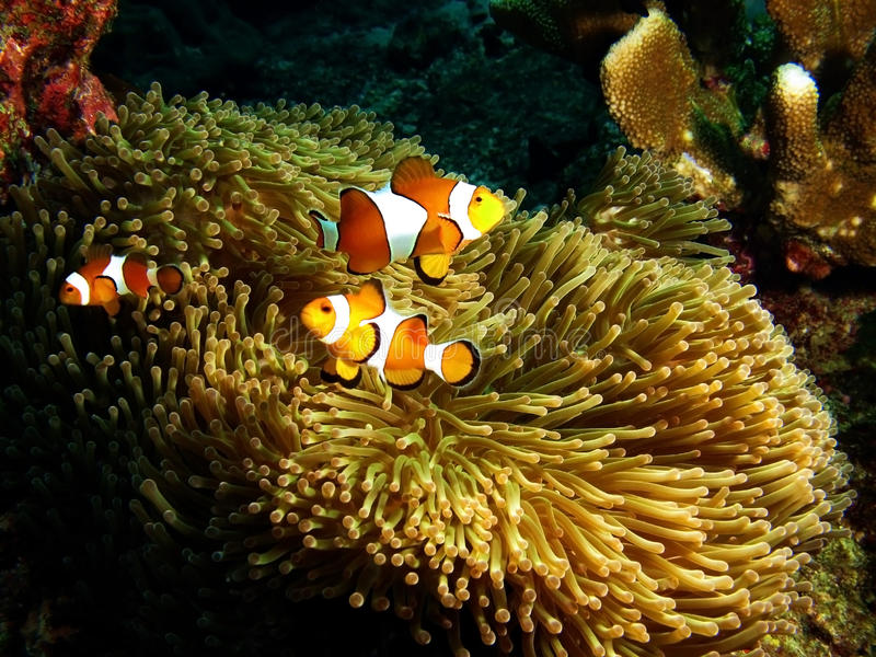 Nemo family protecting their anemone home stock images