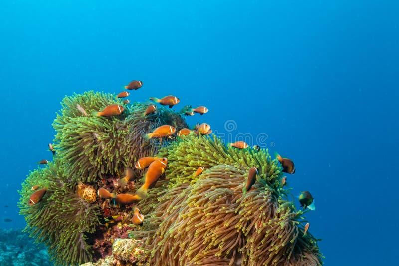 Nemo-Fische mit Wirtsanemone, Clown Anemonefish lizenzfreie stockfotografie