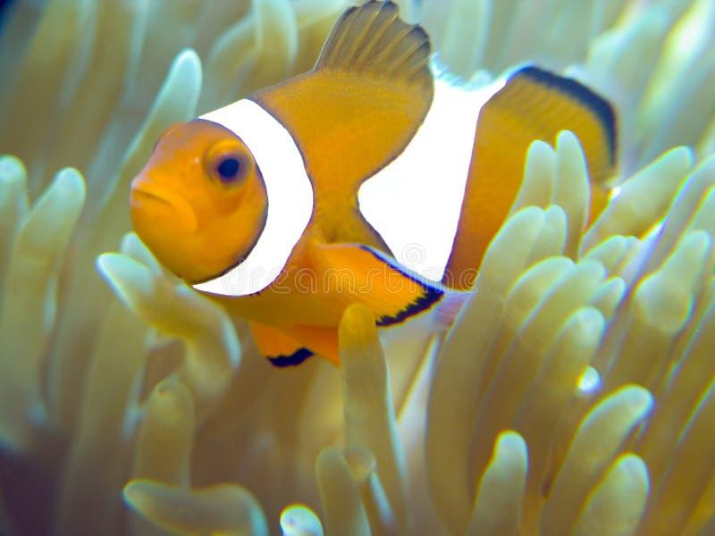Nemo Fische steuern automatisch an lizenzfreies stockbild