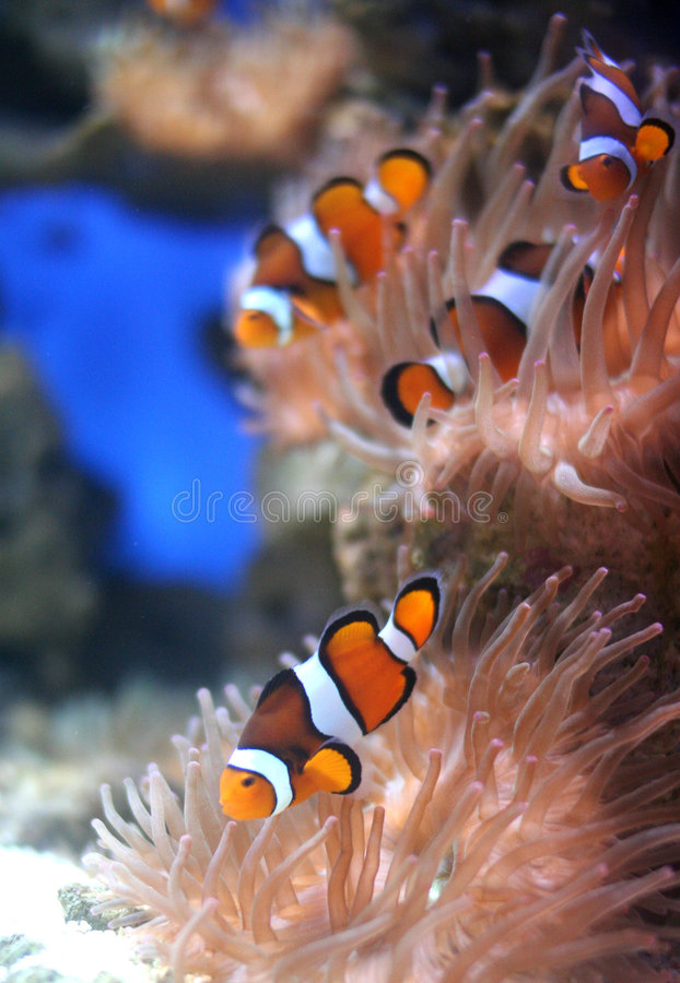 Nemo fish. The clown fish also known as Nemo feeding on a pink anenome on coral reef. Great DOF focused on foreground fish