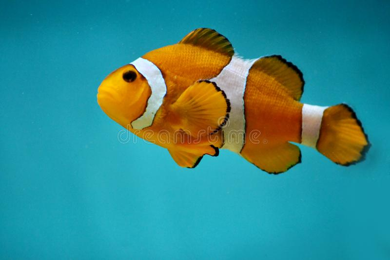Nemo Fish in a Blue Water stock photos