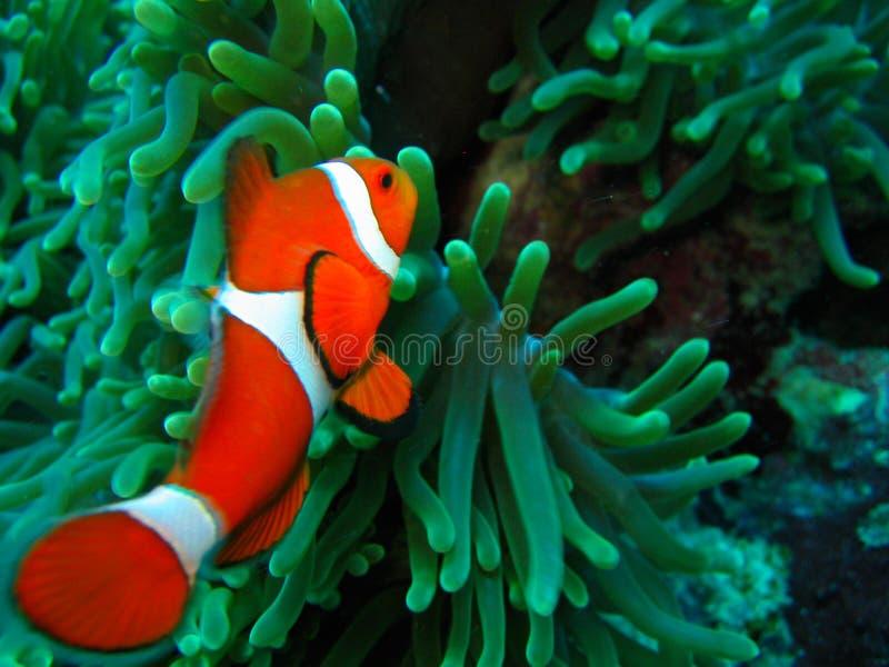 Nemo Found photo libre de droits