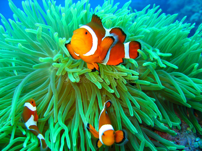 Nemo found. This is a photo of a clown fish underwater on a scuba diving ecotourism adventure