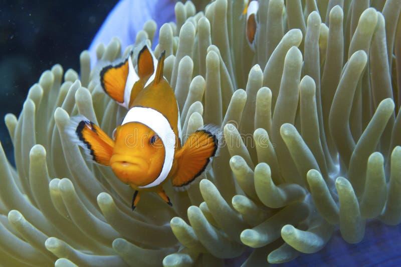 Nemo les poissons amicaux de clown outre de l'aumônier Burgos, Leyte, Philippines images libres de droits
