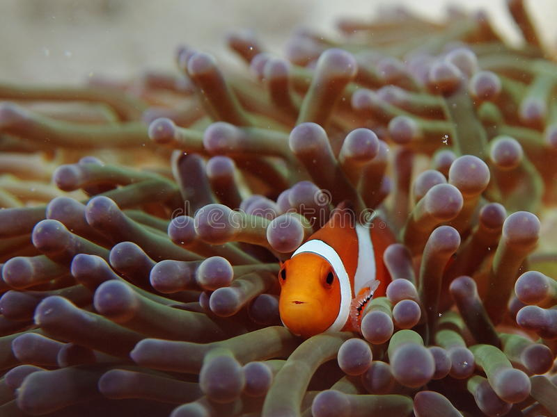 Nemo los pescados de Anemone del payaso fotografía de archivo