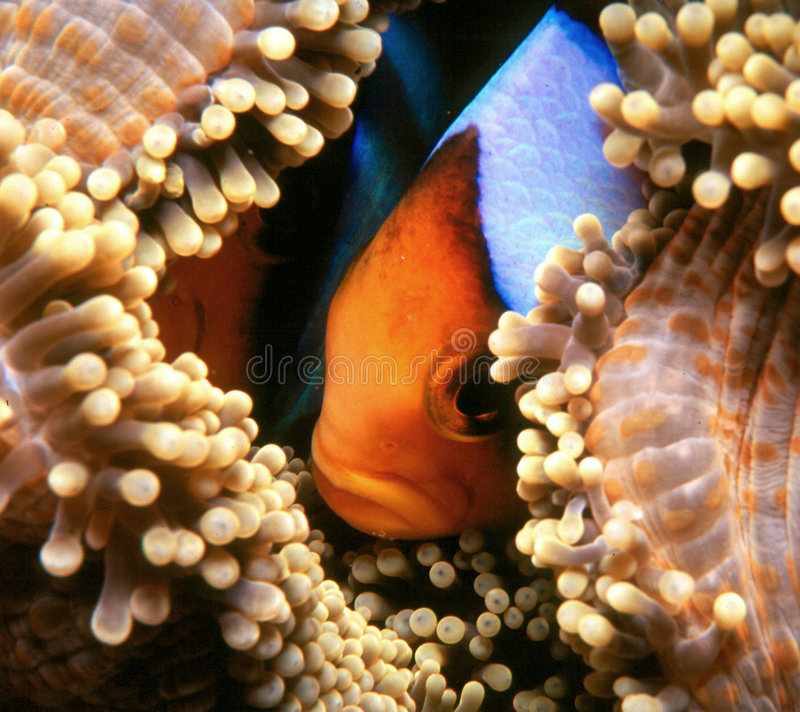 Nemo nascondentesi fotografia stock libera da diritti