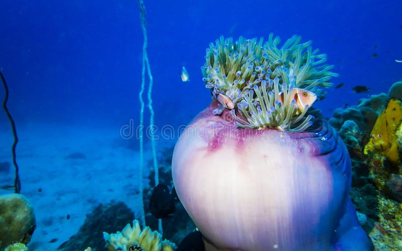 Nemo rosado foto de archivo libre de regalías