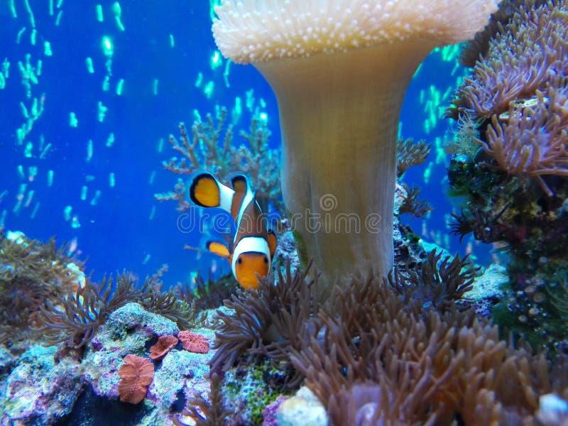 Nemo ryba zdjęcie stock