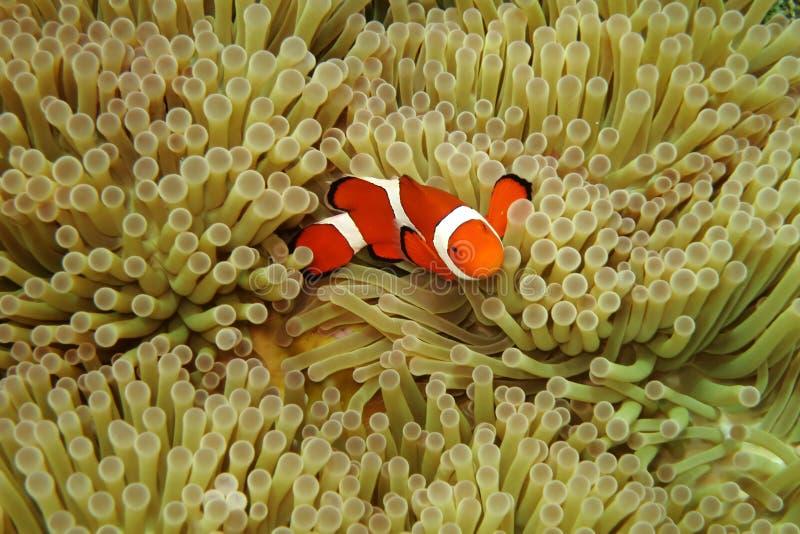 Nemo in sea anemones. A clown fish (nemo) in the sea anemones