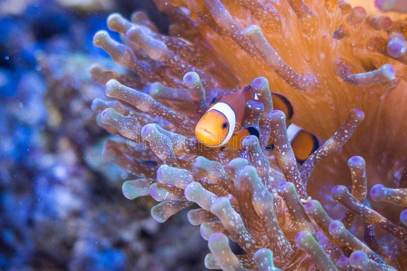 Nemo in sea anemones stock photo