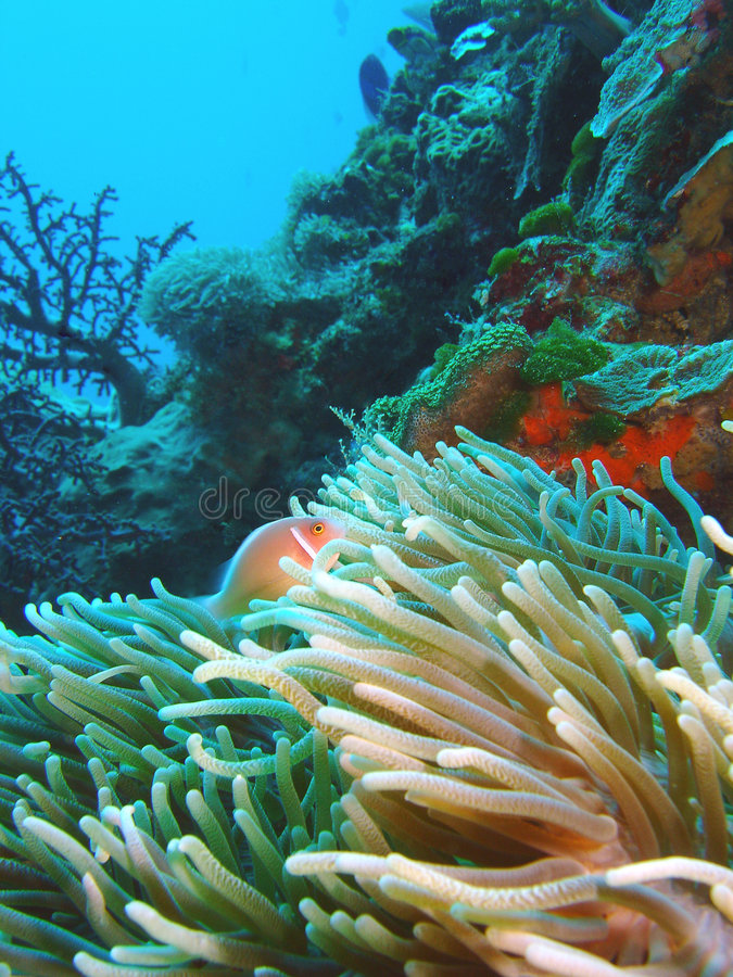 Nemo, Skunk Anemone royalty free stock image