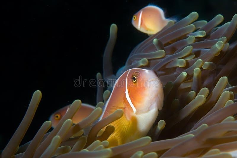 nemo sulawesi Индонесии рыб ветреницы стоковая фотография rf