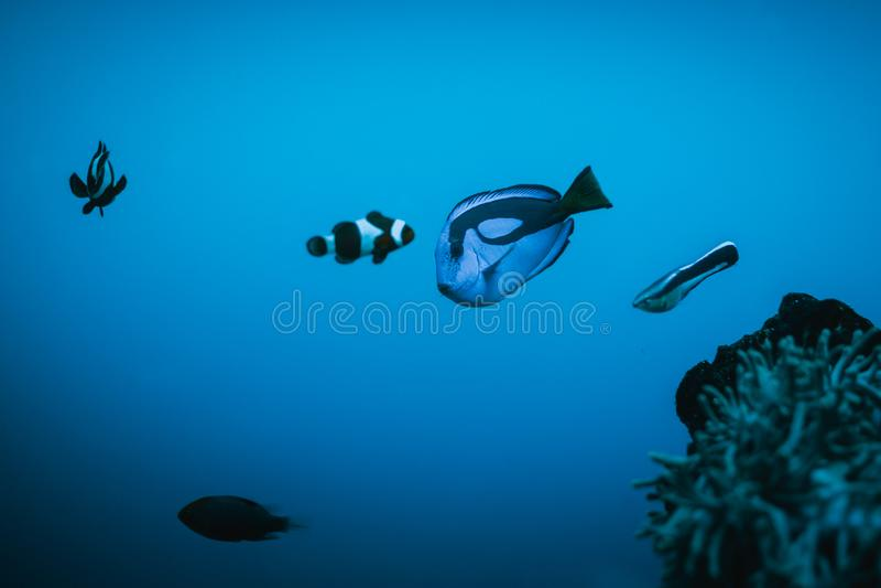 Nemo und Ruderboot, die in Aquarium schwimmen stockfotos
