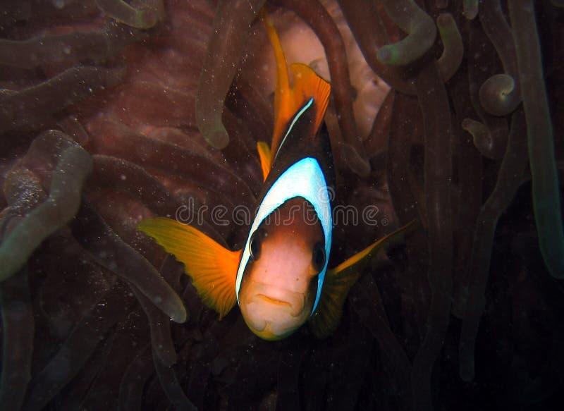 Nemo wird gefunden lizenzfreies stockbild