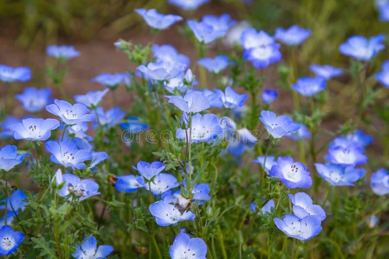 Nemophila地毯或者浅蓝色注视花 库存图片