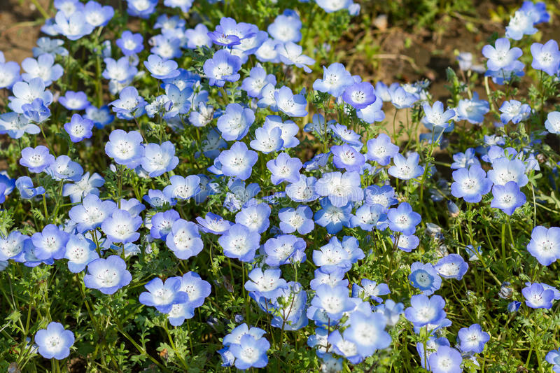 Nemophila地毯或者浅蓝色注视花 库存照片