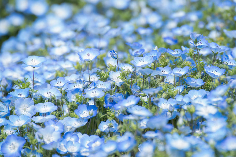 Nemophila地毯或者浅蓝色注视花 免版税库存照片