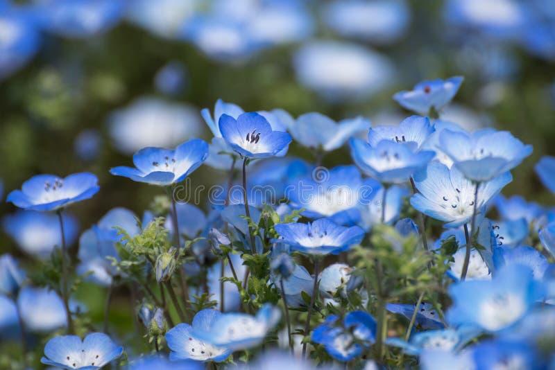Nemophila地毯或者浅蓝色注视花 免版税库存图片