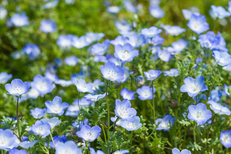 Nemophila地毯,浅蓝色注视花 免版税库存图片