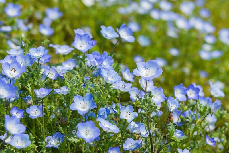Nemophila地毯,浅蓝色注视花 免版税库存照片