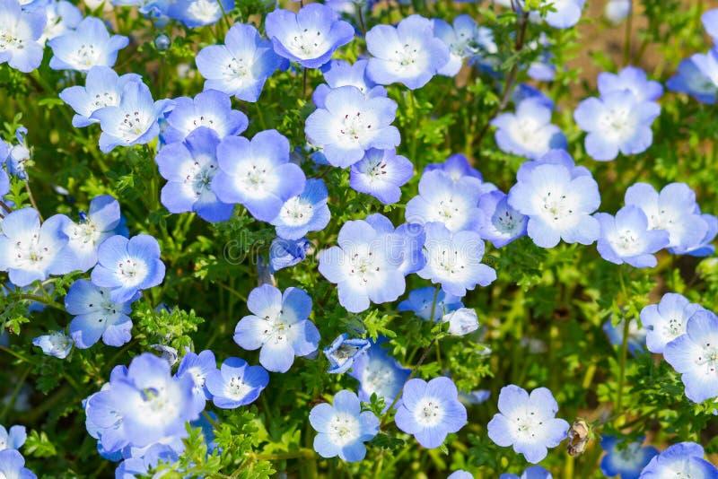 Nemophila的领域或者浅蓝色注视(Nemophila menziesii,加利福尼亚会开蓝色钟形花的草) 图库摄影
