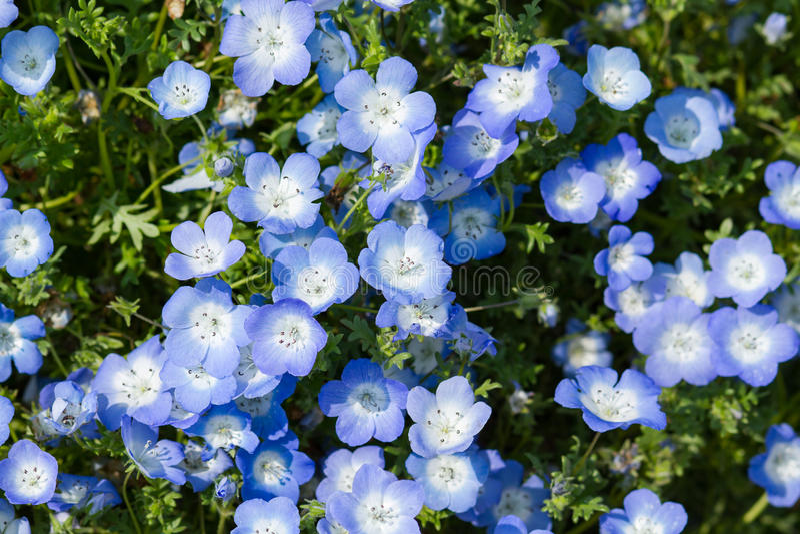 Nemophila的领域或者浅蓝色注视(Nemophila menziesii,加利福尼亚会开蓝色钟形花的草) 库存图片