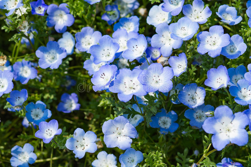 Nemophila的领域或者浅蓝色注视(Nemophila menziesii,加利福尼亚会开蓝色钟形花的草) 库存照片