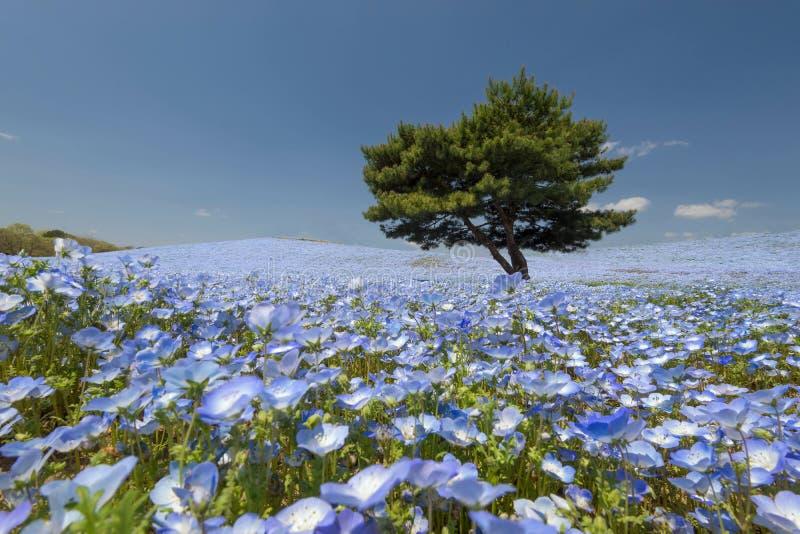 Nemophila花被归档在日立海滨公园 免版税库存图片