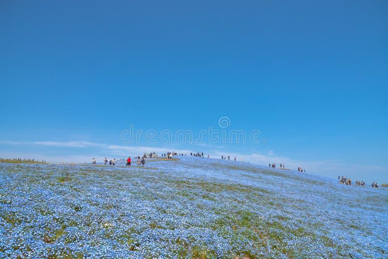 Nemophila (浅蓝色眼睛花)花田,蓝色花地毯 免版税库存照片