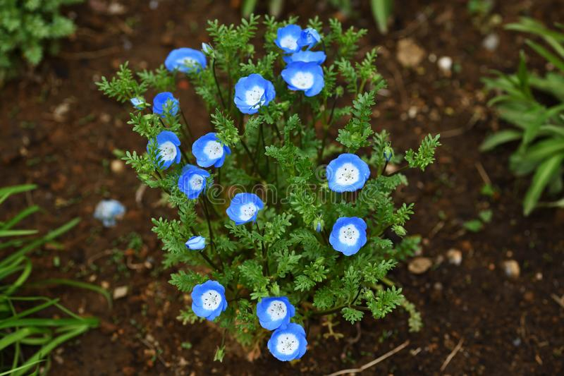 Nemophila azul no jardim fotografia de stock royalty free
