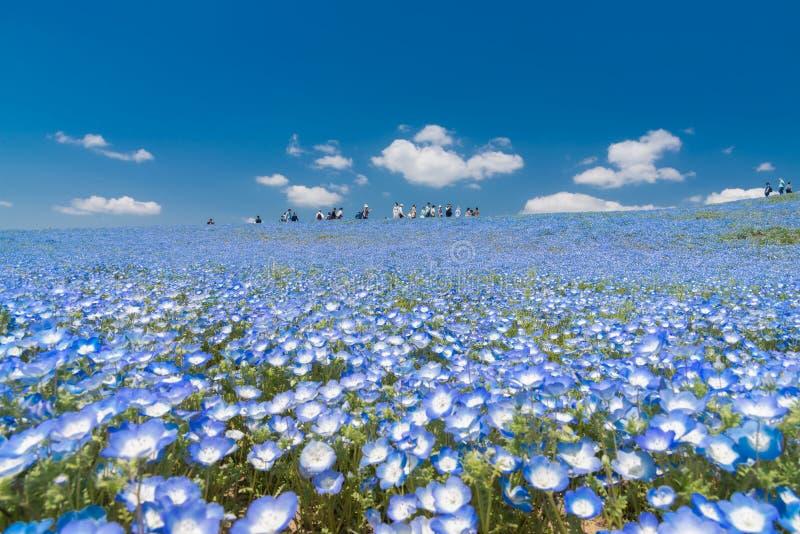 Nemophila blommafält på den Hitachi sjösidan parkerar fotografering för bildbyråer