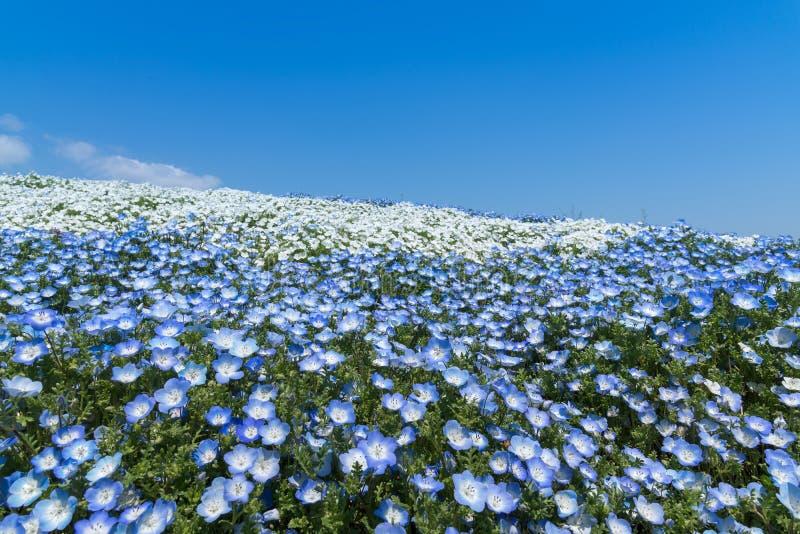 Nemophila blommafält på den Hitachi sjösidan parkerar med blå himmel arkivbild