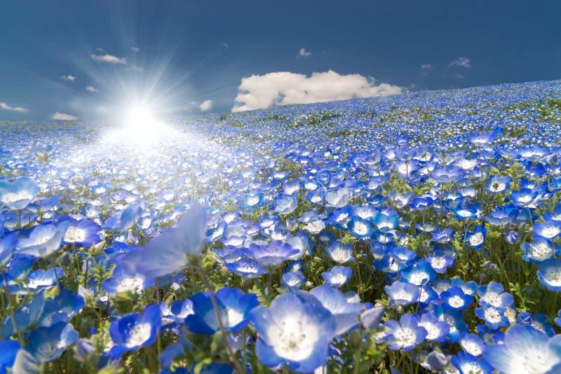 Nemophila, blommafältet och den glänsande strålen för stark sol av ljus på den Hitachi sjösidan parkerar arkivfoto