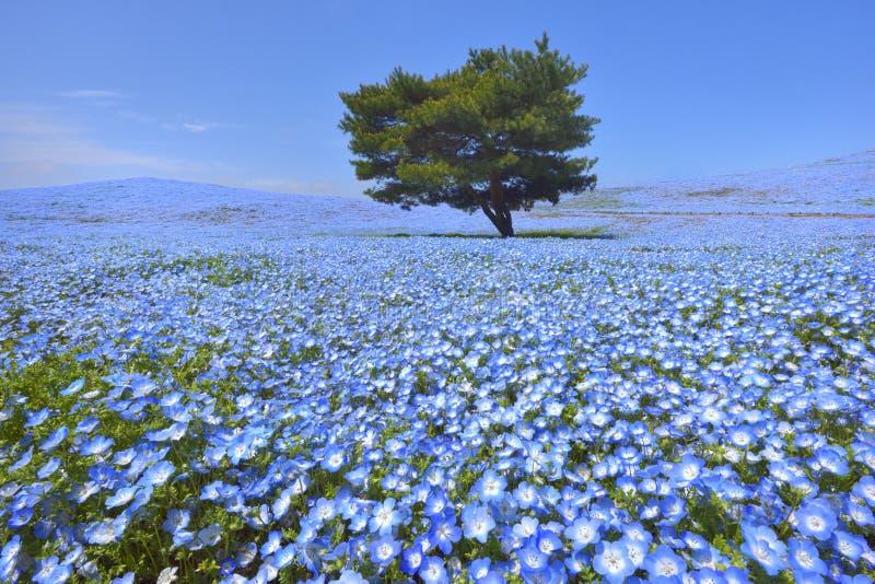 Nemophila blommaträdgård royaltyfri fotografi